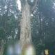 霧島神宮のご神木 恋愛運を高める鹿児島県霧島市のパワースポット